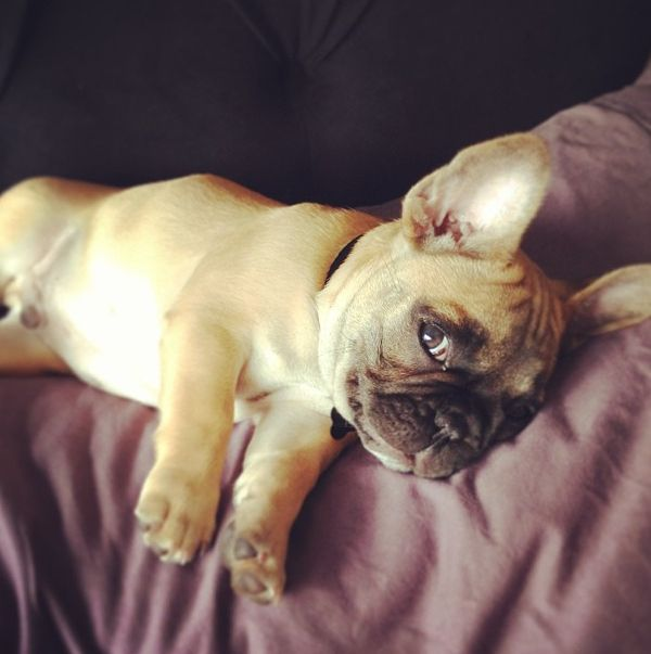 """Whatcha thinkin...?"".....""Oh, just junk 'n stuff"".  French Bulldog Puppy."
