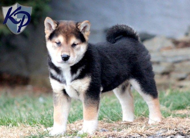 Panther – Shiba Inu Puppy www.keystonepuppies.com  #keystonepuppies #shibainu