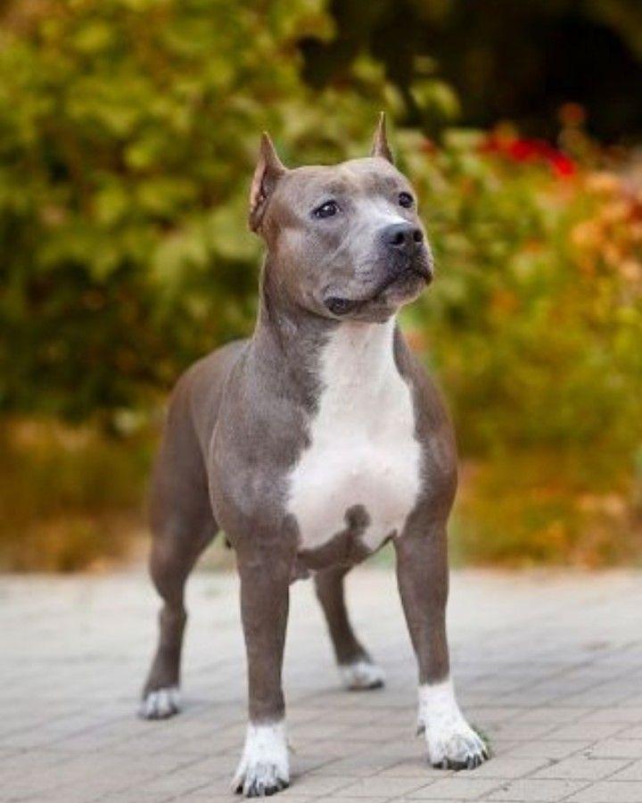 Pin By Dixiebqueen On Animals In 2020 Pitbulls Pitbull Puppies