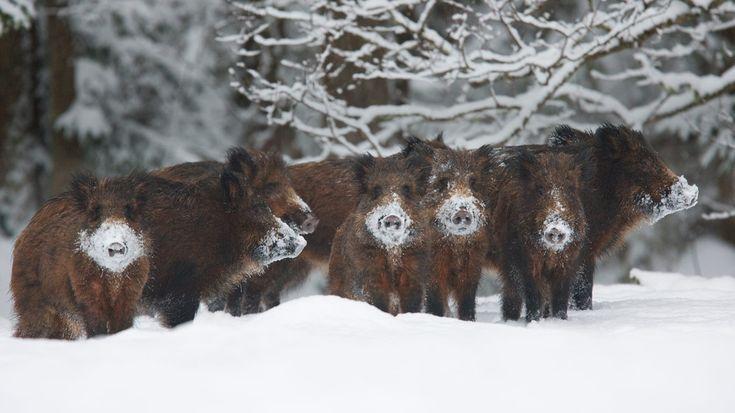 wild boar | Wild boar herd, Alam-Pedja Nature Reserve, Estonia (© Wild Wonders of ...