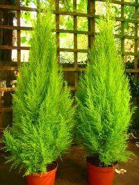 17 Best Images About Cupressus Crist Galli Tree On