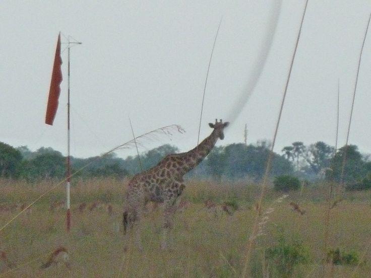 Giraffe on the landing strip. Botswana101.com #GiraffeOnRunway #GiraffeOnLandingStrip
