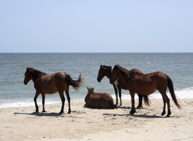 Przewalski paarden in Mongolië zijn de enige nog échte wilde paarden, maar er zijn meer plaatsen waar paarden nog in het wild voorkomen.