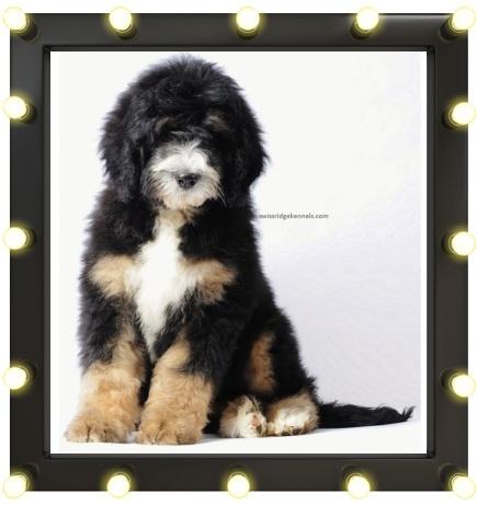 Bernedoodle. Bernes Mountain Dog + Poodle