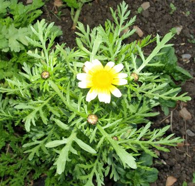 Raw Edible Plants: Edible Chrysanthemum (Chrysanthemum  coronarium) - growing this is my backyard, it survived the Winter and seems to behave more like a perennial than an annual.
