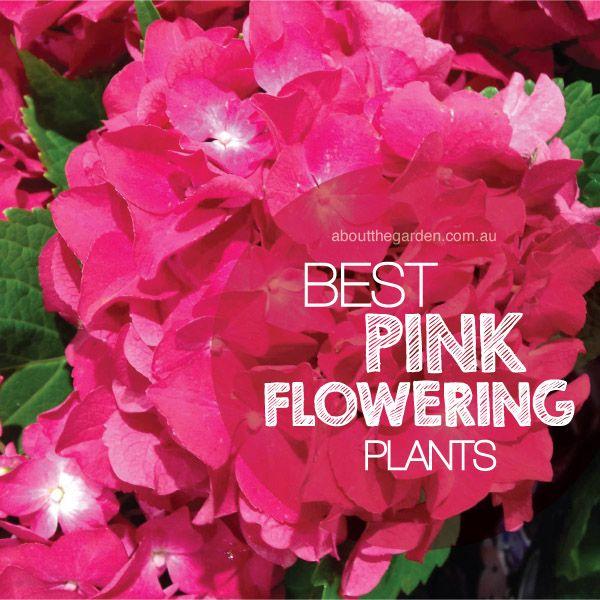 Best Pink Flowering Plants in Australia #aboutthegardenmagazine.