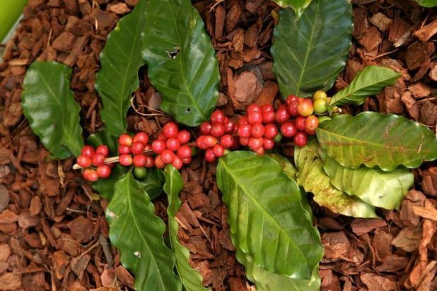 Coffee Beans Grow On The Coffea Arabica Plant Which Is Related To Gardenia Ixor Growing Coffee Coffea Arabica Coffee Plant