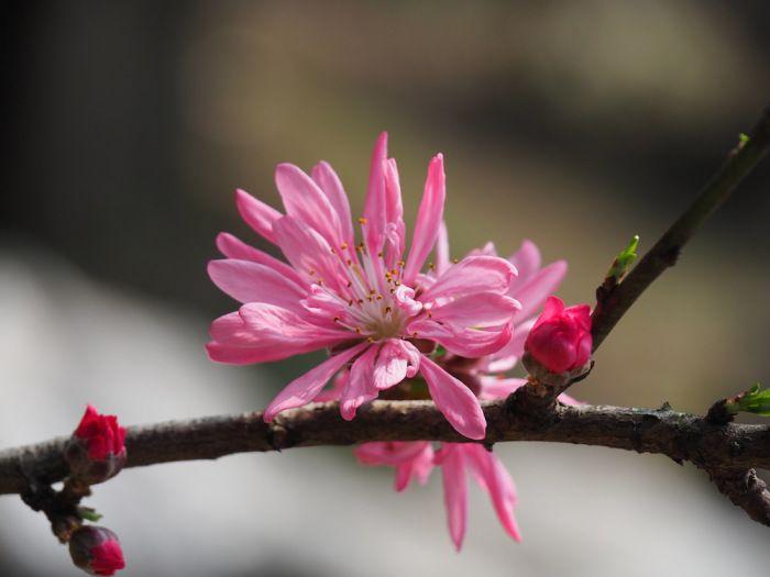 Amygdalus persica cv. 'Stellata' | Location: Shanghai, China | Season: Spring (April 2015) | Secret Stone Garden 愛・美麗