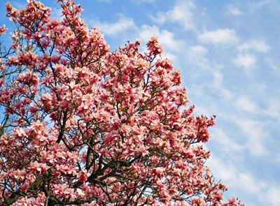 If you are looking for pink flowering trees, here are some of the best ones for your landscape design!
