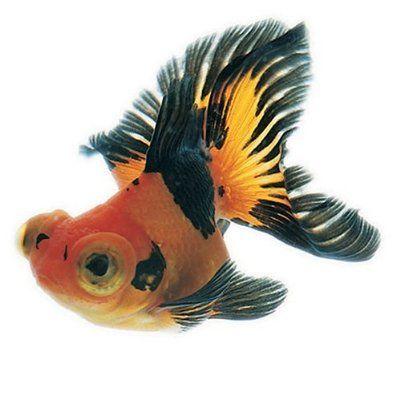 Japanese Fish, , King yo, goldfish, Japanese Design Resource book