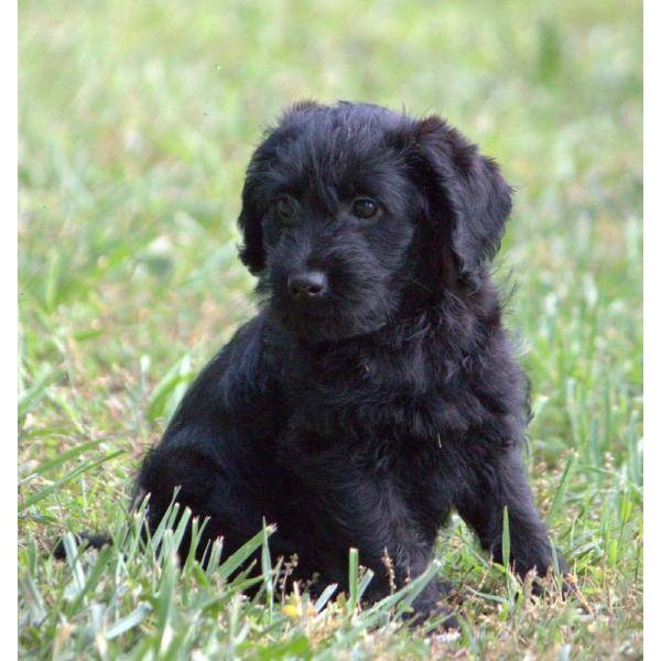 Black labradoodle, Minis and Labradoodle dog on Pinterest
