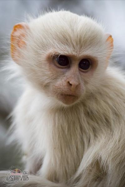 Albino Vervet monkey