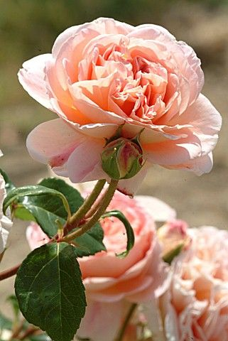 David Austin:  'Abraham Darby' roses. The BEST scent!
