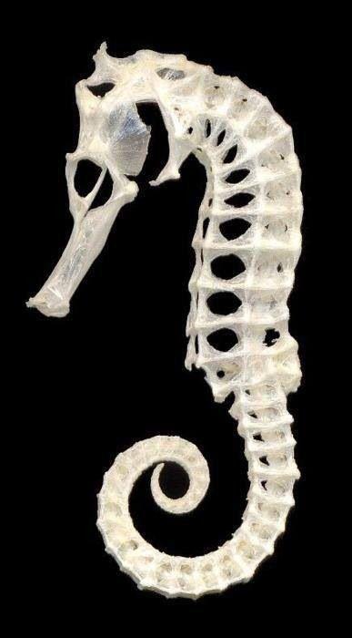Esqueleto De cavalo-marinho