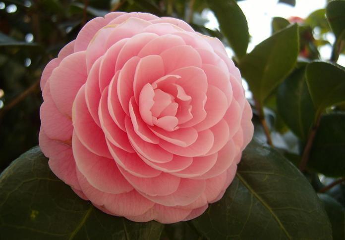 Sementes Camellia Japonica Camelia Flores Gigante Rosa Mudas - R$ 9,90 no MercadoLivre