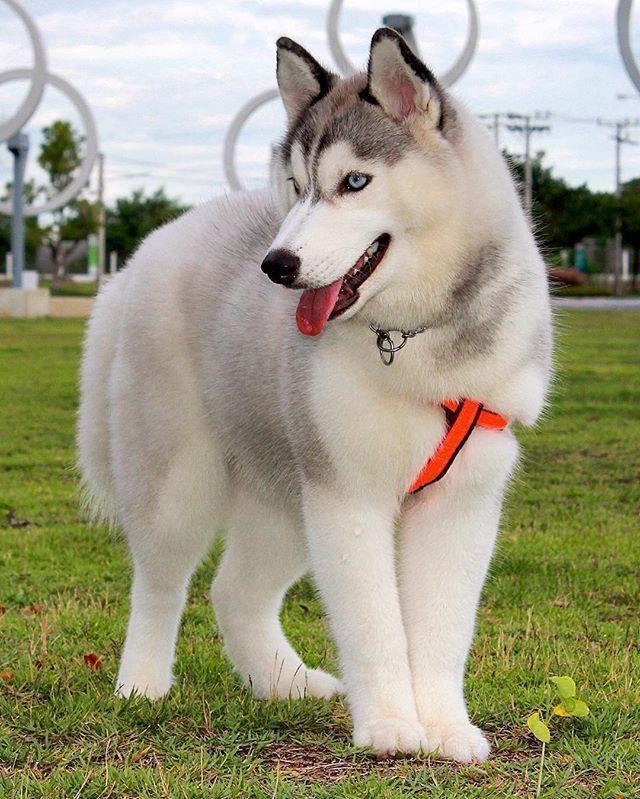 Siberian Husky One Friendly And Playful Dog Beautiful Dogs