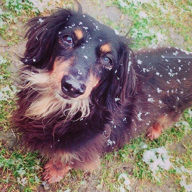 hcpsafari 雪まみれなレミちゃん♪ #姫路セントラルパーク #サファリ #犬 #雪 #himejicentralpark #safari #dog #snow Himeji Central Park 2018/01/24 18:48:01