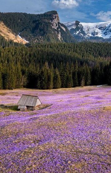 Crocuses in the Tatra Valley, Poland