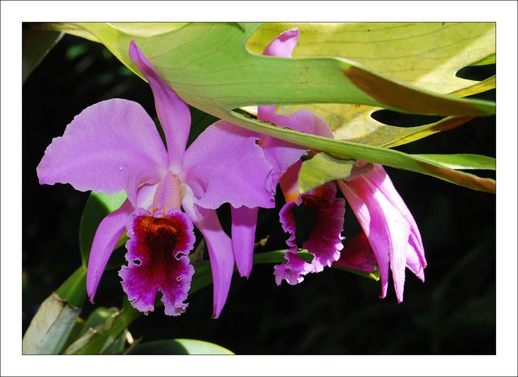 "Cattleya trianae orchid;  also known as ""May flower"" or ""May lily"", is the national flower of Colombia  since 1936. Its name honors the Colombian naturalist Jose Jeronimo Triana. It is found growing at tempered heights ( between 1000 and 2000 meters above sea level and 17-24º C )."