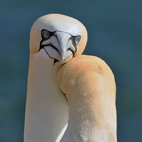 Gannet (Morus bassanus) in  Helgoland - Germany by Aat Bender on 500px.