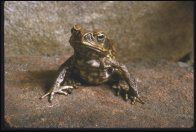 The Cane Toad is tough and adaptable, as well as being poisonous throughout its life cycle, and has few predators in Australia.