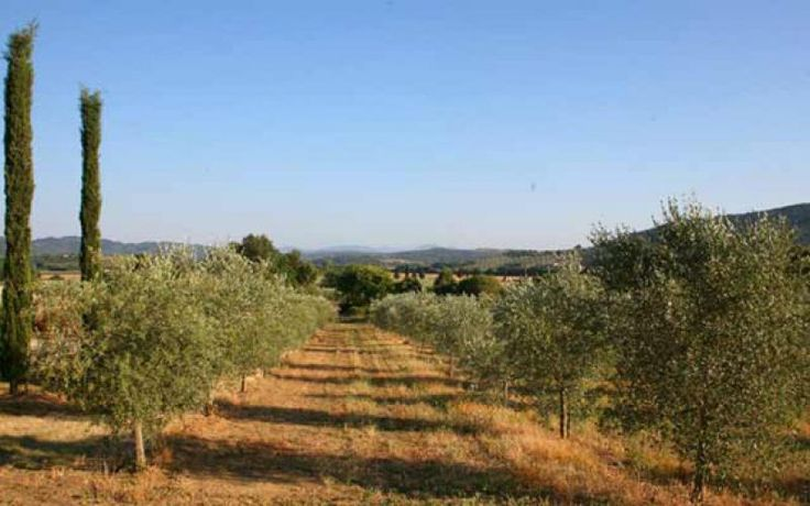 The farm has olive groves made up of 12000 olive trees, 8531 of which planted relatively recently, ranging from 1 to 5 years.