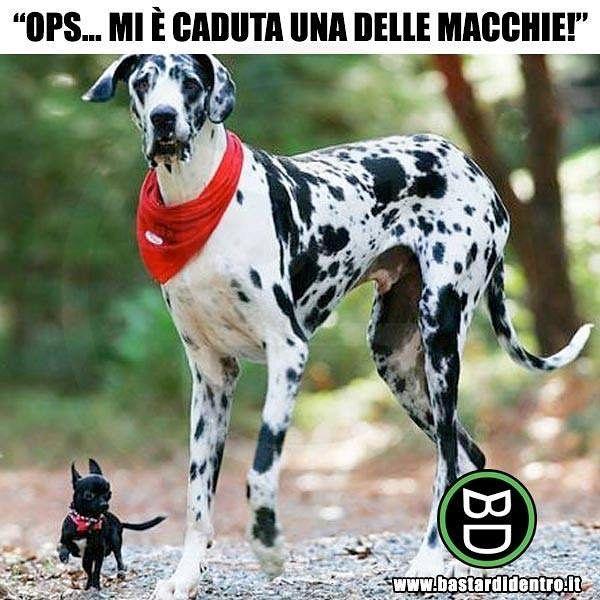 Senza macchia e senza paura! #bastardidentro #cani #animali #chihuahua #cuccioli