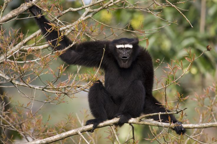 Hoolock gibbon ( Hoolock hoolock ) In Bangladesh, populations of the endangered hoolock gibbon declined by more than 50% between 1986 and 2006 as a result of habitat destruction.