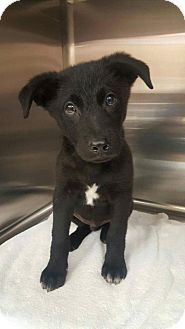 New York, NY - Collie/Labrador Retriever Mix. Meet Thor, a dog for adoption. http://www.adoptapet.com/pet/17376158-new-york-new-york-collie-mix