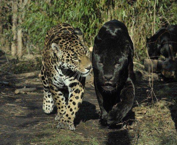 Panter met zwarte panter | zwarte panter en tijgers ...