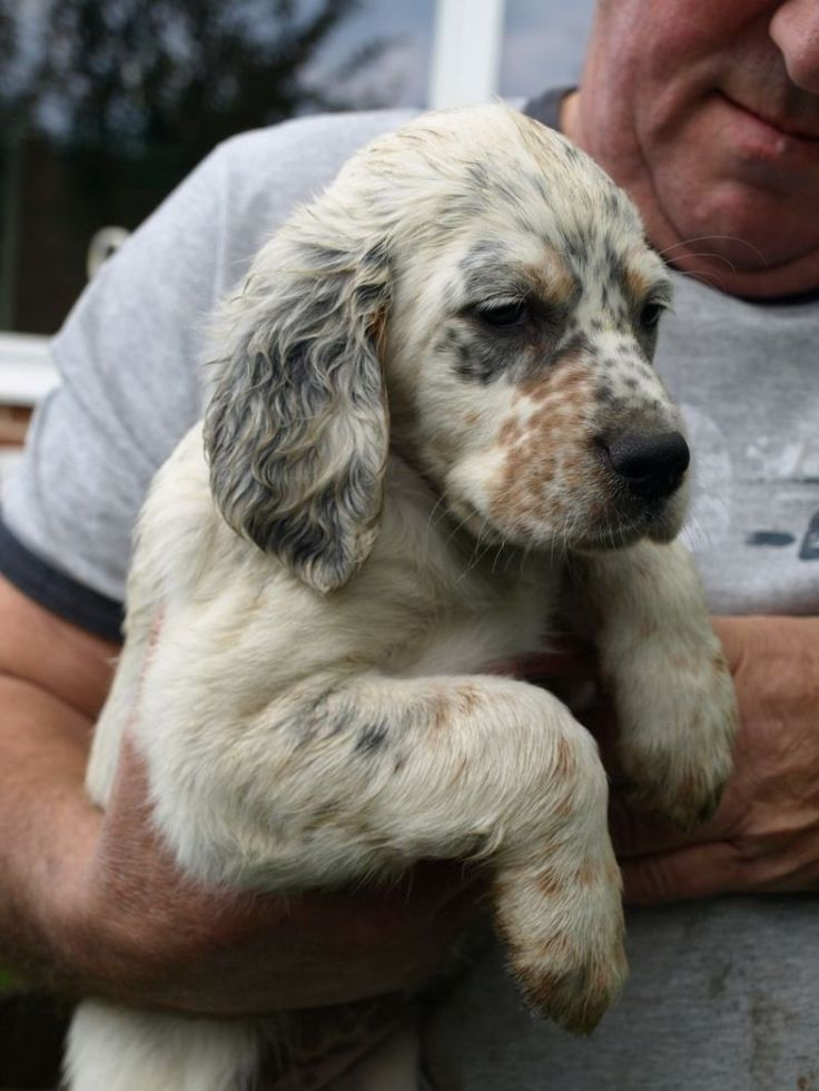 Cute English Setter puppy.   Love!
