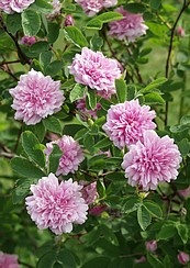 Rosa majalis 'Tornedal'. I'm about to plant one of these to my garden.