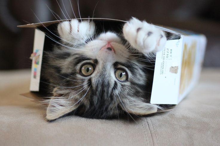   Kedi Latte +