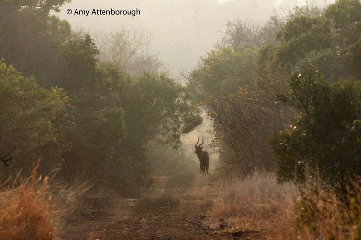 An Nyala bull in the mist is framed by a line of Guarri's and Tamboties on Phinda.