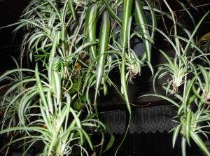 Plante araignée et ses stolons