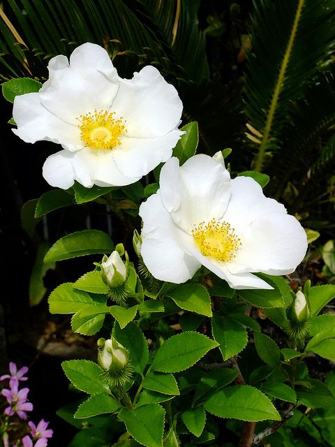 Cherokee Rose. The white petals represent the tears each mother shed for her lost child, the golden centers represent what was stolen from the people and why they were persecuted - white man wanted the gold. Greed greed greed.