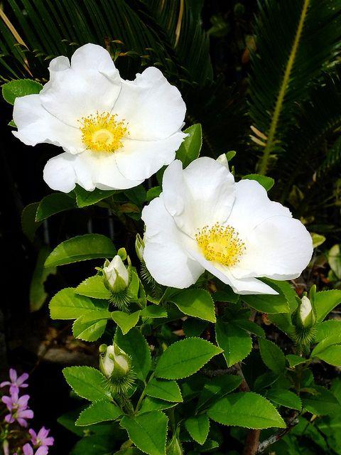 Cherokee Rose - Ga state flower