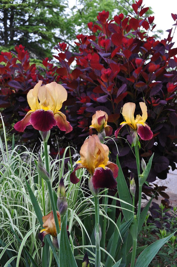 Smoke tree, bearded iris, and ornamental grass combo