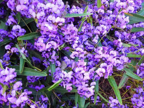 Hardenbergia violaceae 'Happy Wanderer' Hardenbergia | Gardening With Angus
