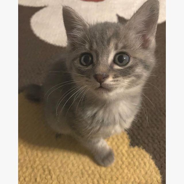 ㅤㅤㅤㅤㅤㅤㅤㅤㅤㅤㅤㅤㅤ あん🐈雑種♀(3ヶ月) ㅤㅤㅤㅤㅤㅤㅤㅤㅤㅤㅤㅤㅤ 1ヶ月ぐらい前に🏠にきた新入り。 こんなかわいい顔してるけど、 常に家中走り回ってるじゃじゃ馬、、、 ㅤㅤㅤㅤㅤㅤㅤㅤㅤㅤㅤㅤㅤ #愛猫 #にゃんすたぐらむ #あんすたぐらむ #子猫