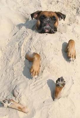 Boxer Beach Day! I want do know how they ever got a boxer to stay on his back long enough to cover him in sand? ~ re-pinned by boxerdogchecks.com ~ boxer-themed apparel, gifts, personal checks and stationery.