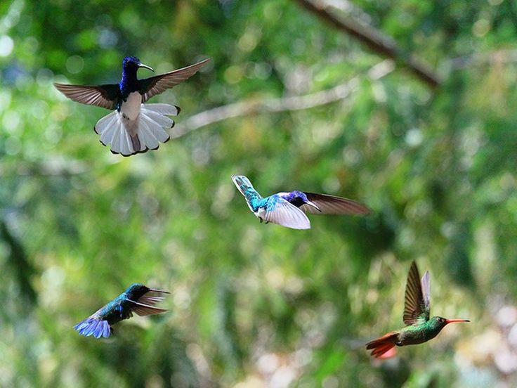 Colibris en vol dans une clairière proche de Minca, dans la Sierra Nevada de Santa Marta en Colombie www.tripalbum.net/colombie/