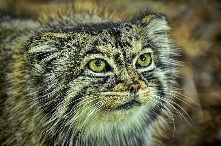 face painting pallas cat - Google Search