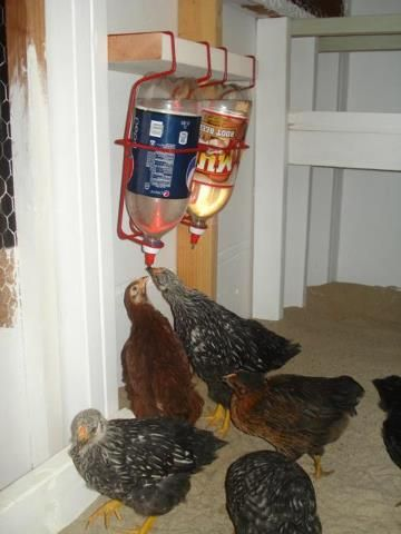 bebedero de pollo