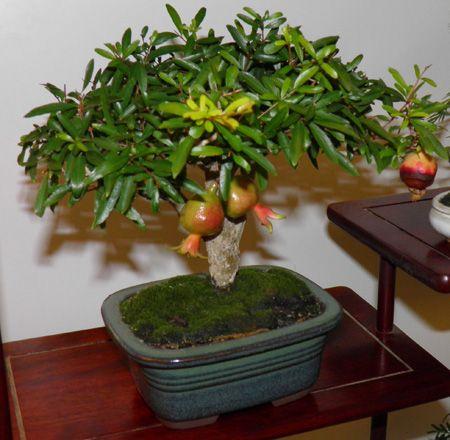 384 mejores im genes sobre bonsai en pinterest rboles - Como cultivar bonsais ...