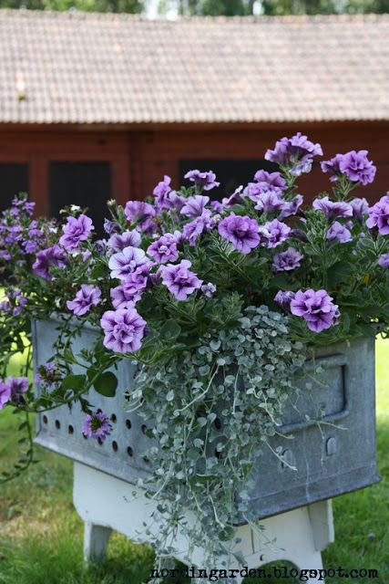 Purple double geranium in a galvanized container