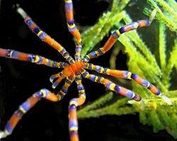 sea spider - Anoplodactylus evansi