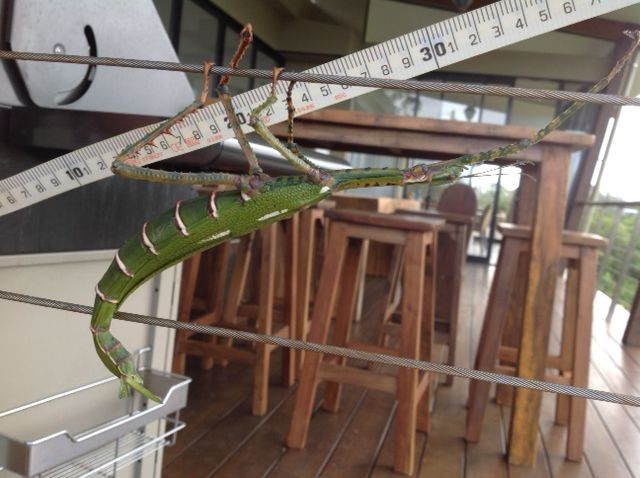 Goliath Stick Insect - Seen 26/1/2014.  This is a female and is 2nd largest stick insect in Australia. They feed at the top of eucalyptus. Interesting fact: To avoid predators noticing them by their droppings, they have a very special way to handle it. At the rear end of the their abdomen, they have three large filaments. The middle filament holds the dropping when it comes out. They will flip their abdomen to throw their droppings a few meters away.