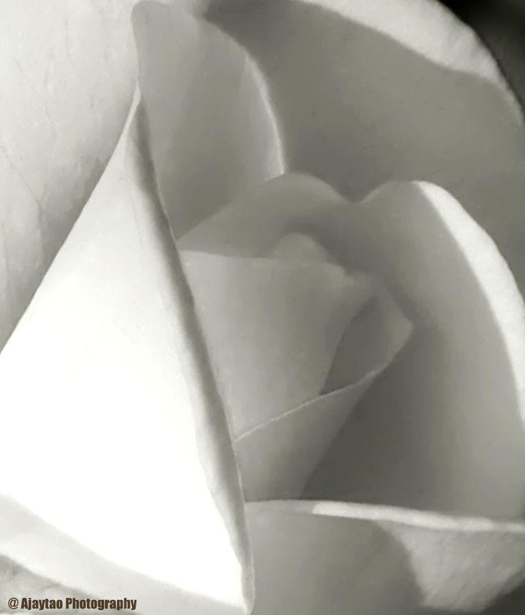 Rose – B & W – 5 – Ajaytao