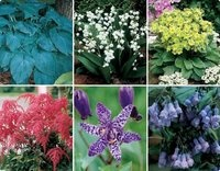 Perennial SHADE Garden collection  This collection contains 17 roots, 1 each of Red Ostrich Plume Astilbe, Blue Angel Hosta, Burning Hearts Dicentra, Purple Beauty Toad Lily, 3 of Virginia Blue Bells and 10 of Lily of the Valley.